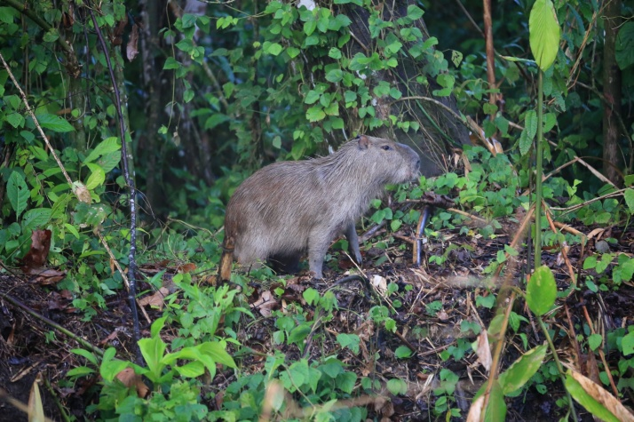 """These Capybara reminded me of a children's book - """"The Wump World"""".   Mom will know what I am talking about!"""