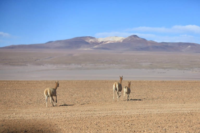 These are Vicuna - wild relatives of Llamas that won't allow themselves to be domesticated - they simply let themselves die.  Be free guys!