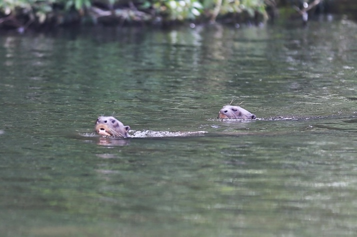 Nasty fellas - river otters - not happy with our presence!