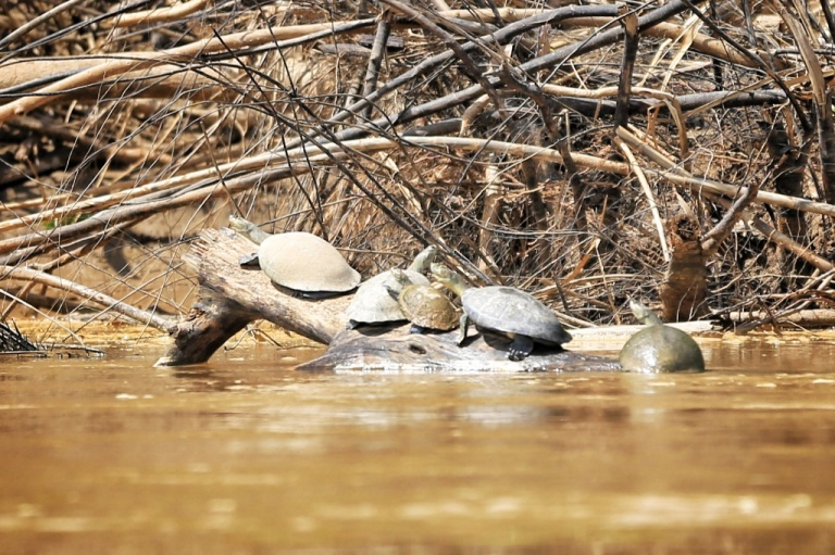Family of turtles (or maybe just a group) sunning themselves on the banks