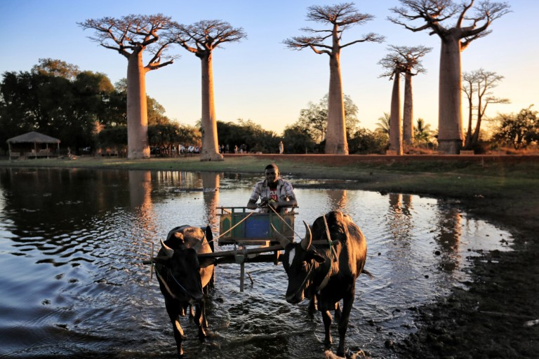 A zebu cart drives past teh baobabs