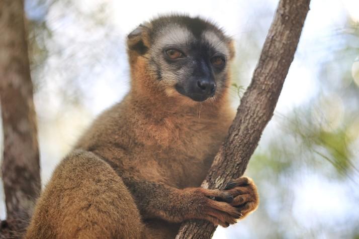 This brown lemur is telling us we ain't in Kansas no more.