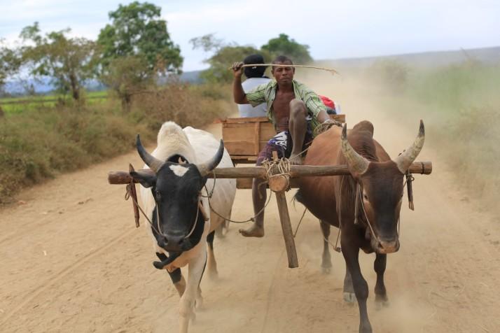 A zebu cart and driver
