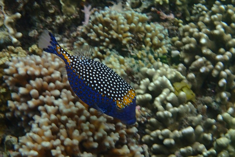 Such a colorful fish in the snorkel world!