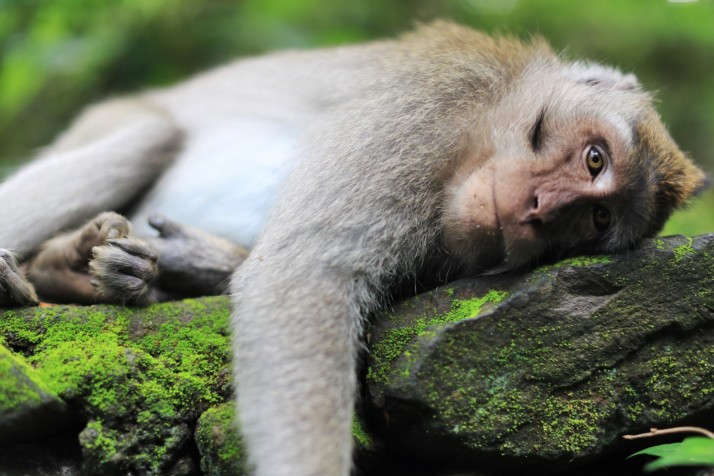 Maybe this monkey is tired of tourists?  Or maybe not!
