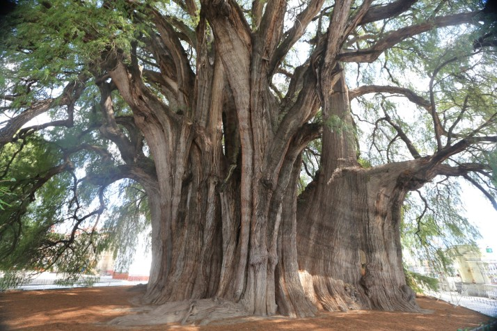 This is the fattest tree in the world. It's 3000 years old and it's close to Oaxaca.