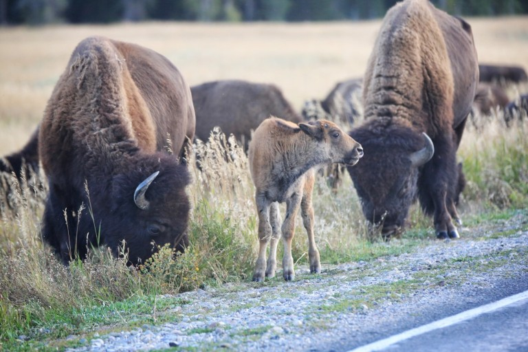 Watch out - bison crossing
