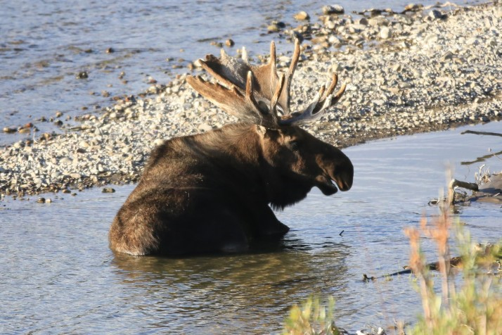 Lazy moose cooling down in the Snake river.
