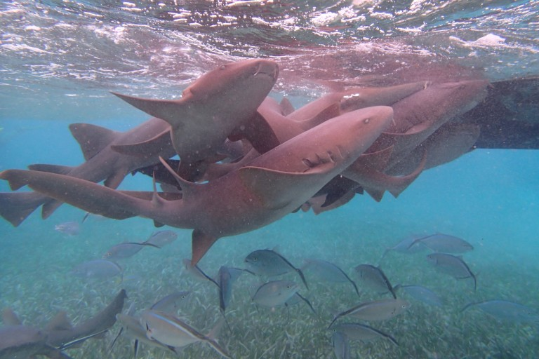 A gaggle of nurse sharks to snorkel with