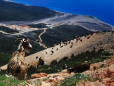 Goats with a view in Dhermi