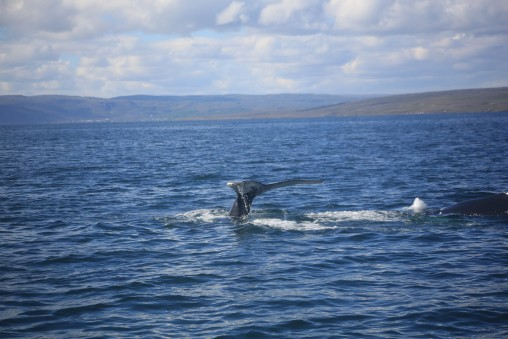Whale watching in the Westfjords at Holmavik