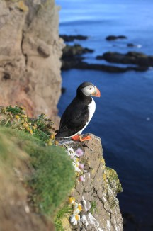 Another adorable puffin
